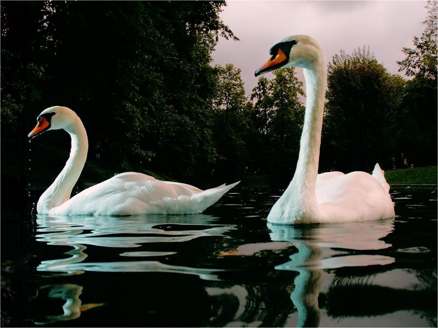 два контрастных белых лебедя
