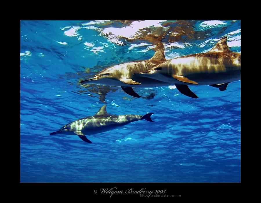 красноморские дельфины - еще вариант