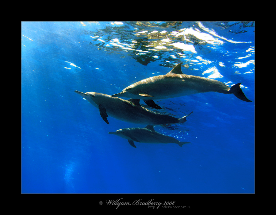 красноморские дельфины - и еще вариант