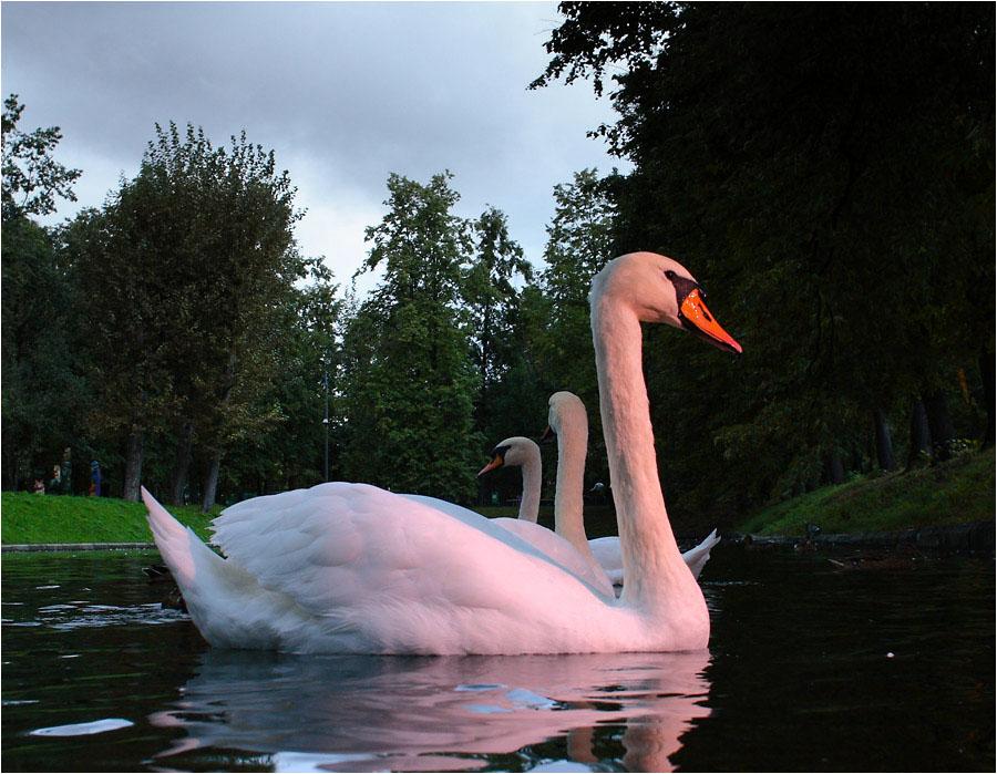 еще немного лебедей в вечернем свете #1