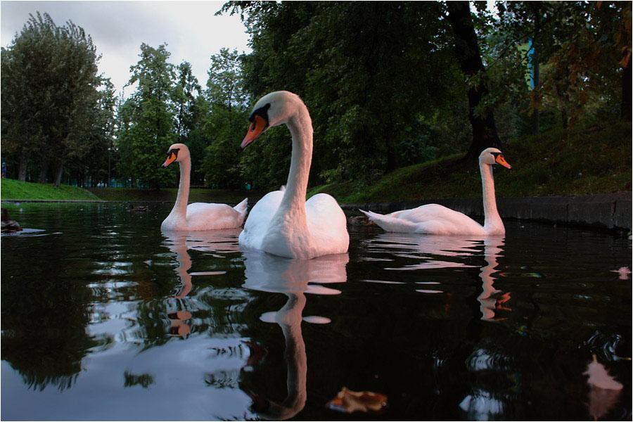еще немного лебедей в вечернем свете #2