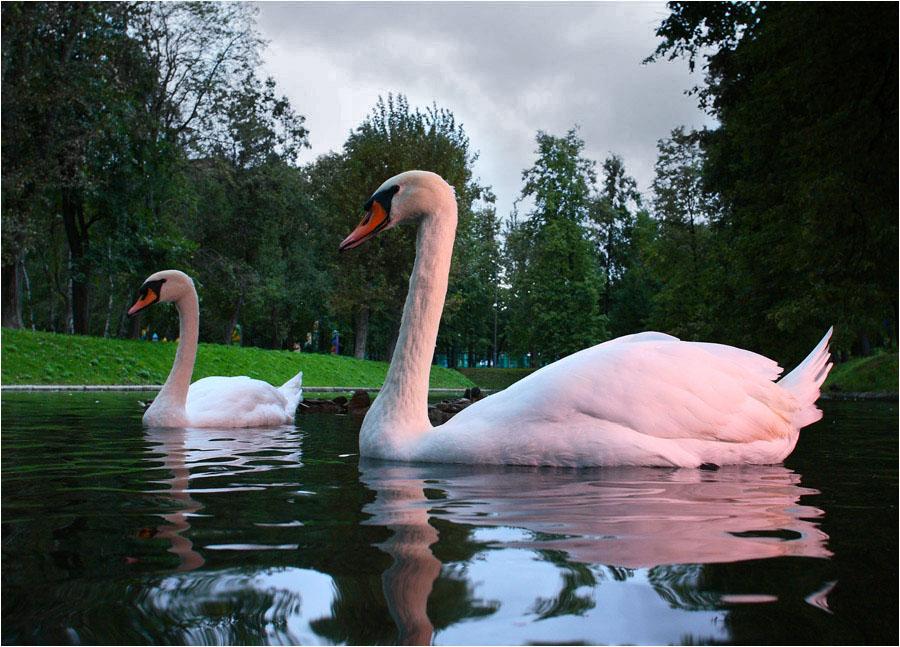 еще немного лебедей в вечернем свете #3