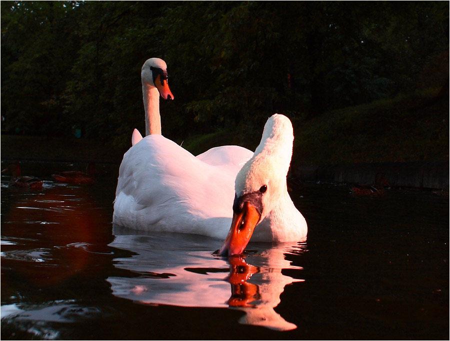 еще немного лебедей в вечернем свете #4