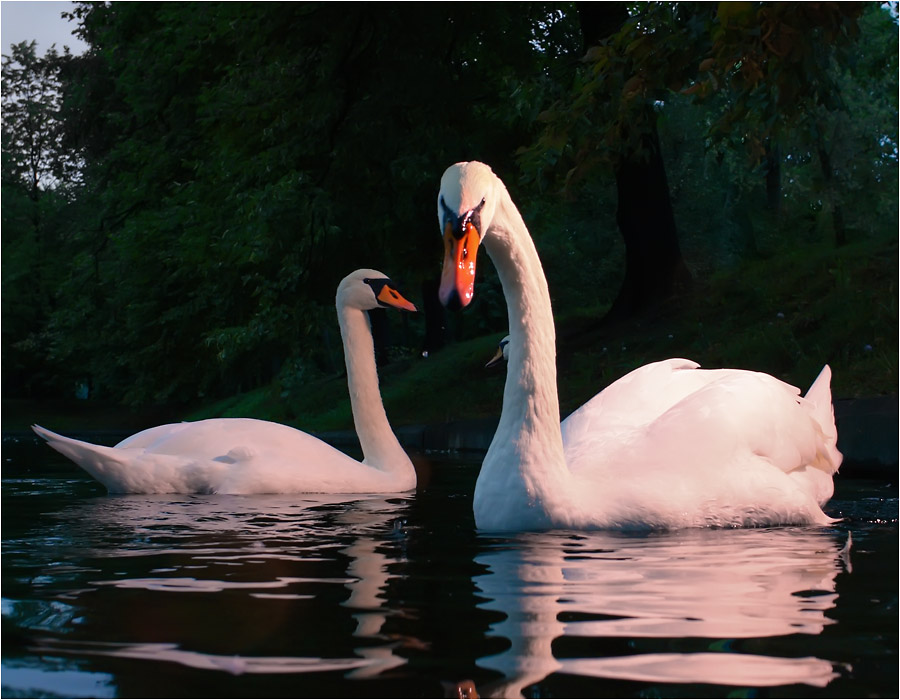 еще немного лебедей в вечернем свете #5