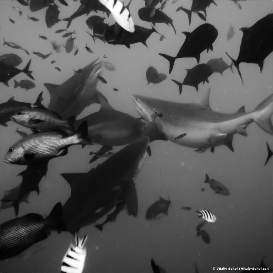 sharks underwater photo of bullshark