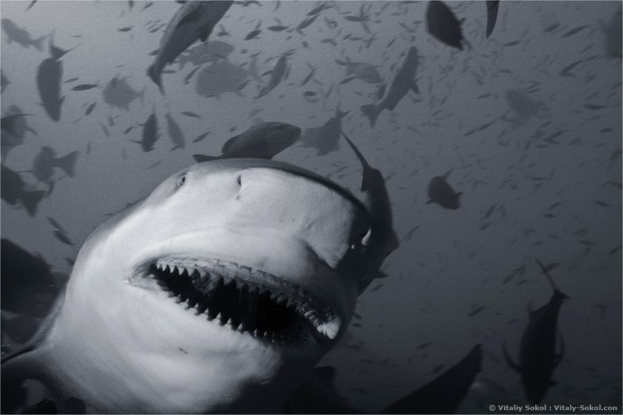 Smile. Дайвинг с бычьими акулами на Fiji с Beqa Adventure Divers.