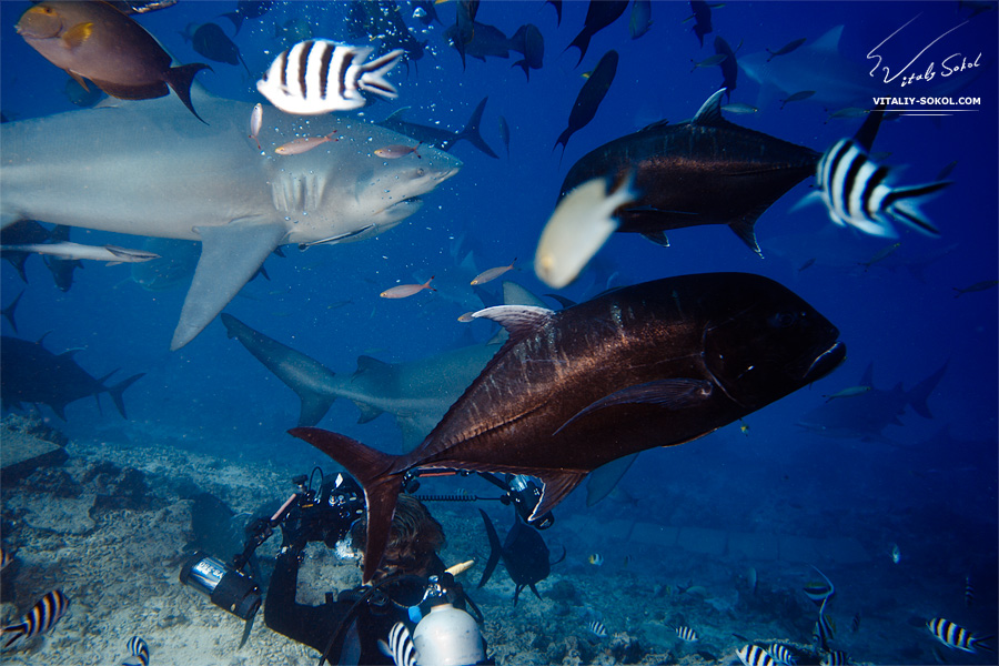 Underwater. Human and sharks.