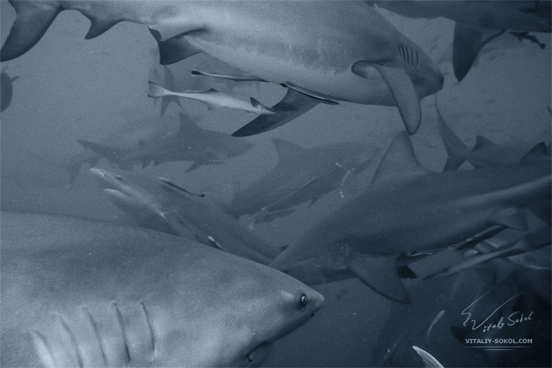a lot of angry bull sharks