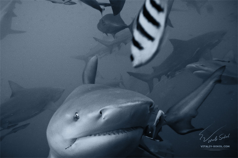 bullshark closeup with her brothers and sisters