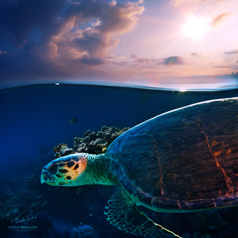 Sea-turtle-swimming-over-beautiful-coral-reef-close-the-surface-under-sunset-sky-splitted-by-waterline-s
