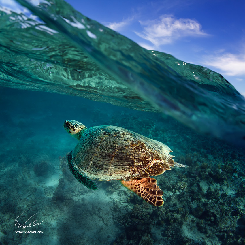 big sea turtle soaring in deep blue sea
