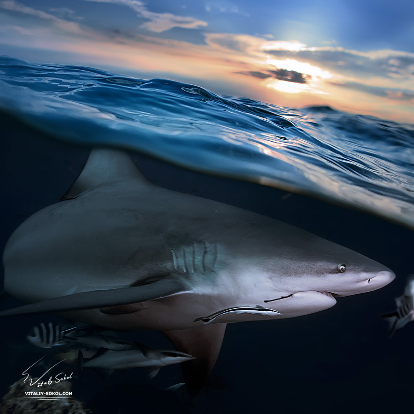 Ocean open water. Wild hungry shark hunting close sea surface by Vitaliy Sokol. Stock photo