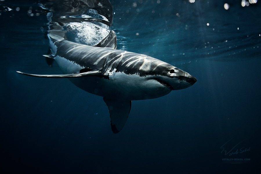 great-white-shark-0X2A4754