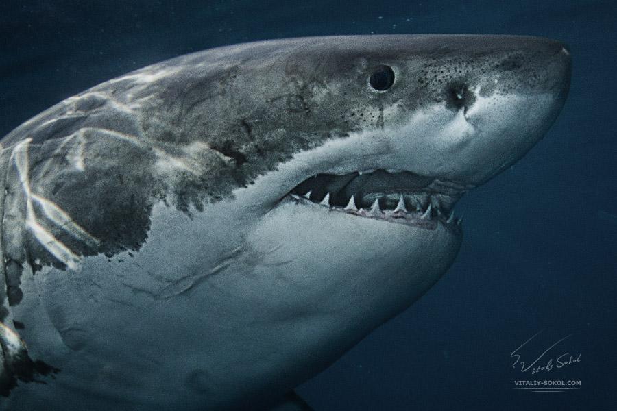 Большая Белая акула. Тихий океан, подводная фотография Виталия Сокола