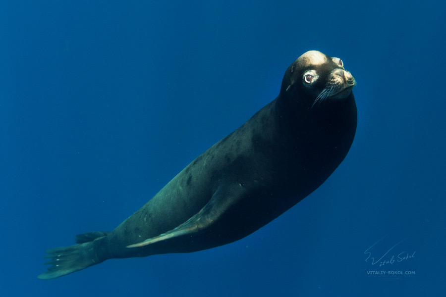 Seal. California Sea Lion