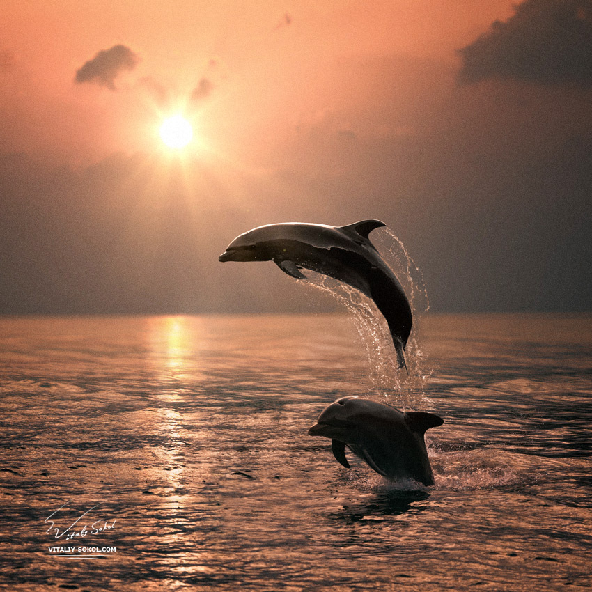 Beautiful Leaping Dolphins bumping from sunset sea