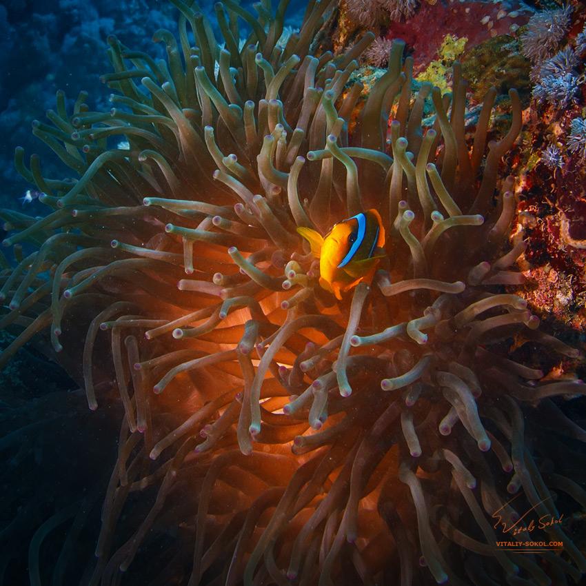 ClownFish by Vitaliy Sokol