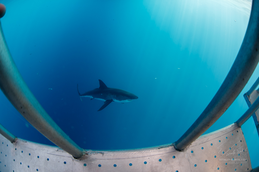Great White Shark underwater in ocean. View from cage