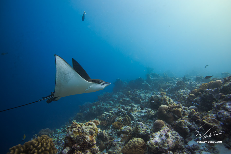 Eagleray underwater. Maldivian ocean. Sealife at homereef.