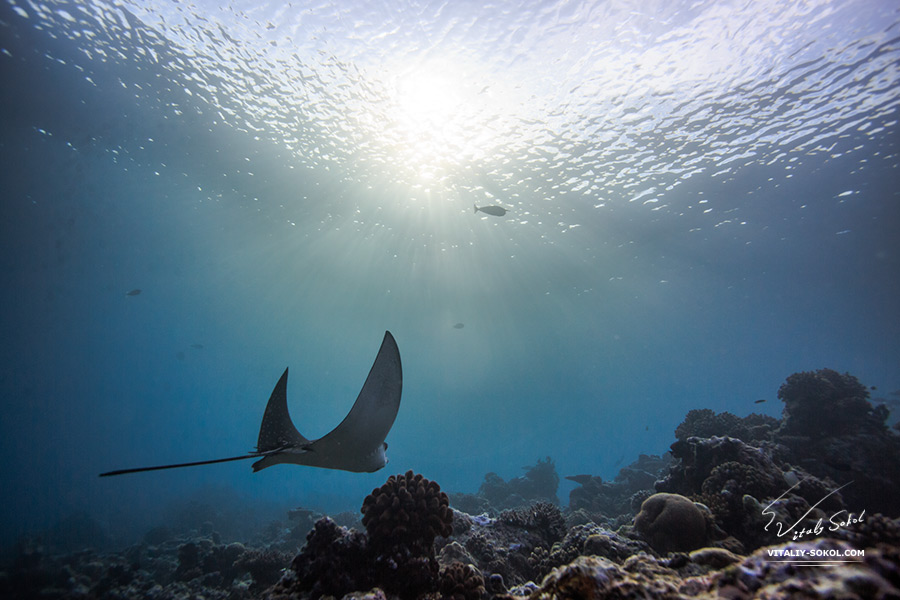 Eagleray floating over coral reef in maldivian water