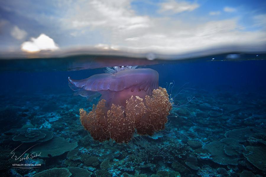 Медуза цефея в Индийском океане. Сплит, снимок сделан в пол-воды
