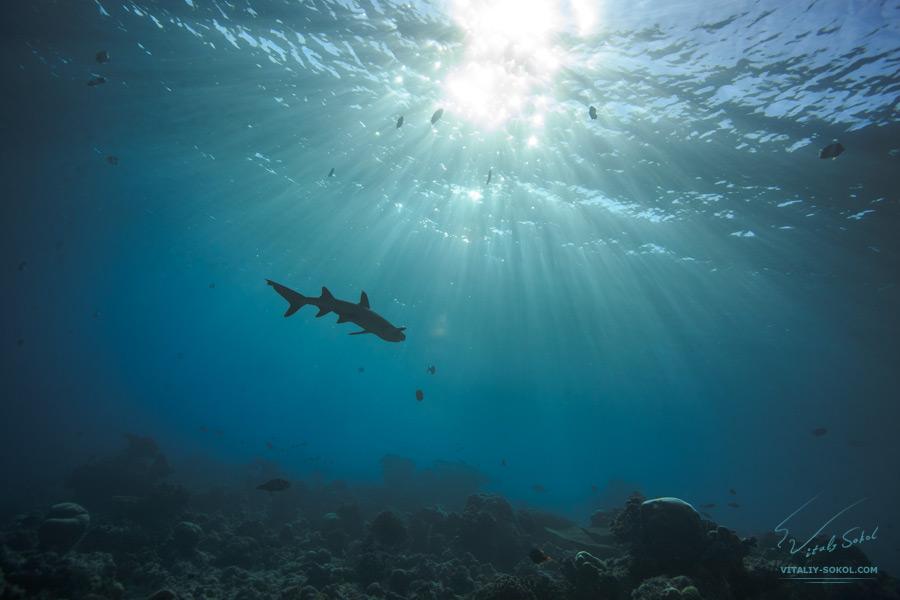Белопёрая акула под водой на Мальдивах в Индийском океане