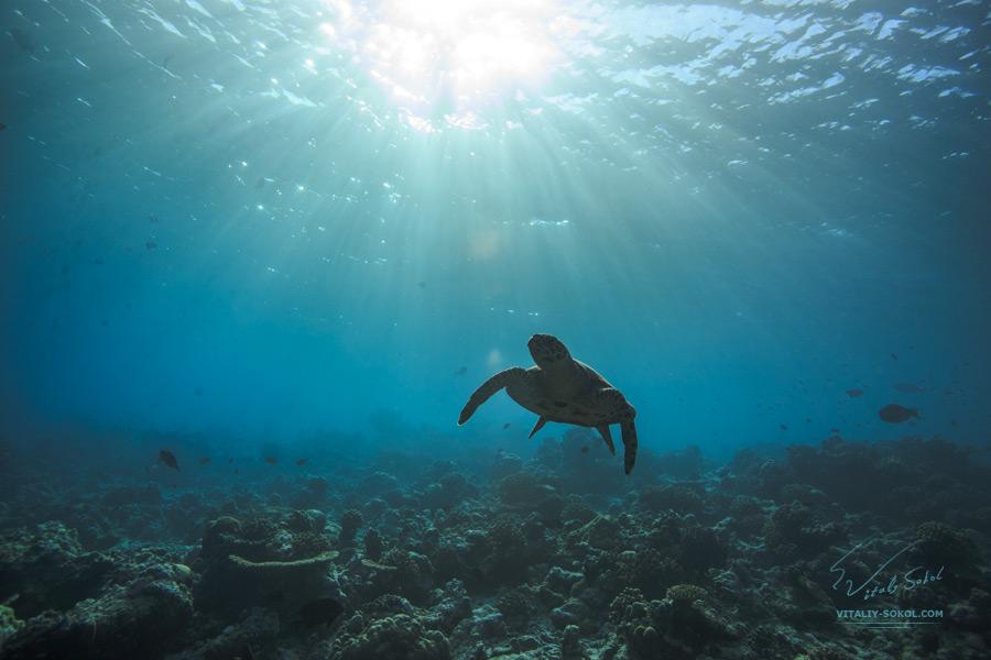 Мальдивская морская жизнь под водой. Морская черепаха в солнечных лучах.