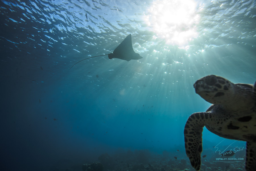 Eagleray and sea turtle with sunlight on water surface. Underwater photo by Vitaliy Sokol