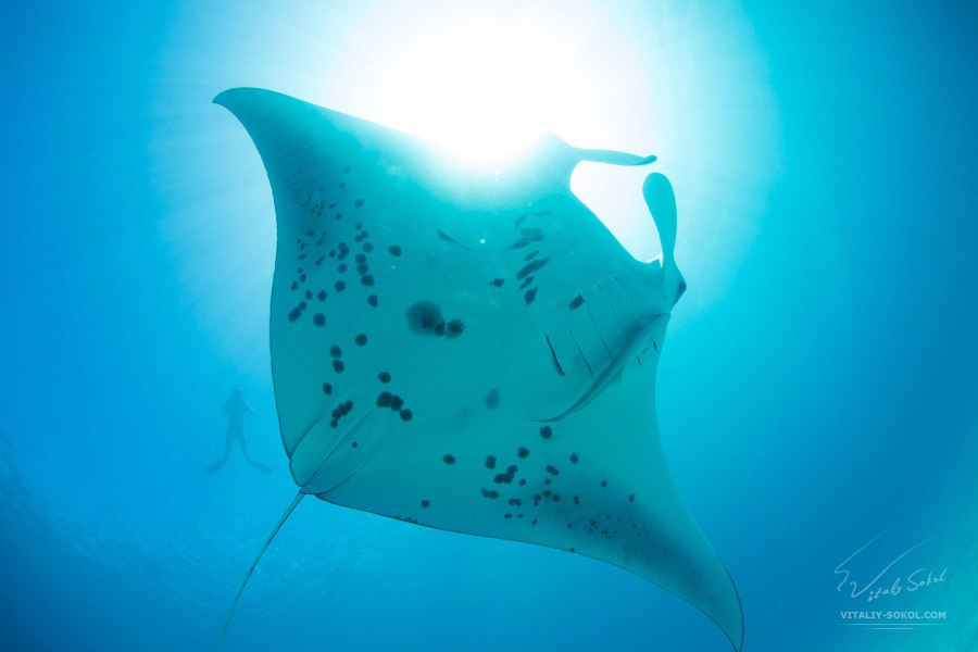 Photo by Vitaliy Sokol: A Mantaray in open water in Indian Ocean.At Ari atoll, Maldives