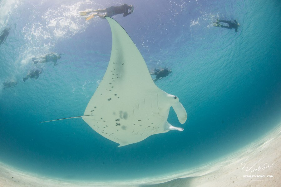 Photo by Vitaliy Sokol: A Mantaray with people in open water in Indian Ocean. At Ari atoll, Maldives
