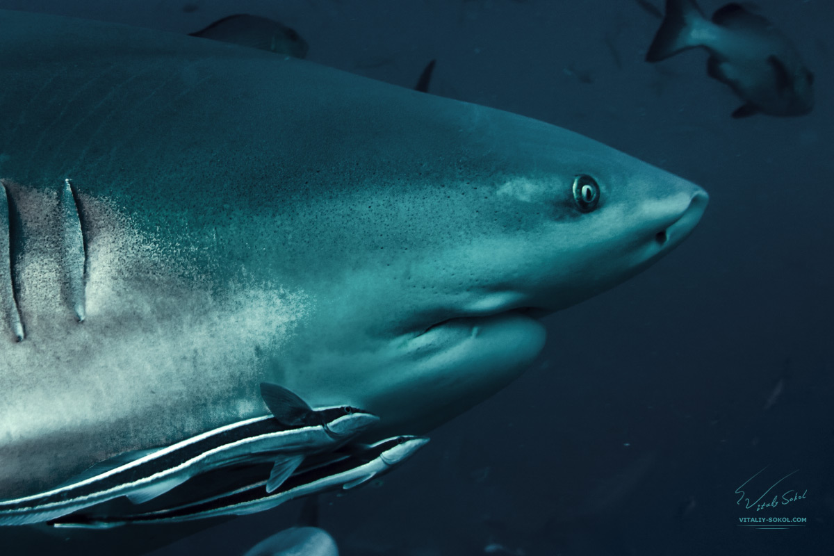 Bullshark in Pacific ocean. Closeup photo