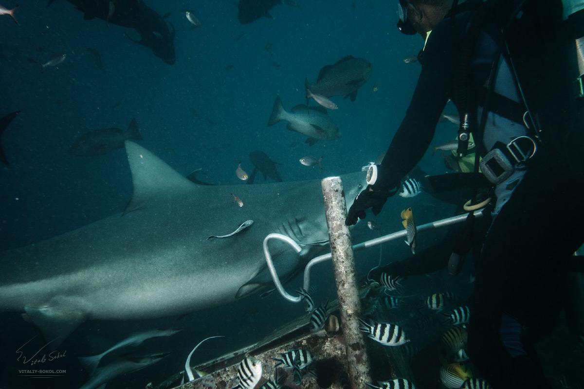 Bullshark defenders in Pacific ocean. Closeup photo