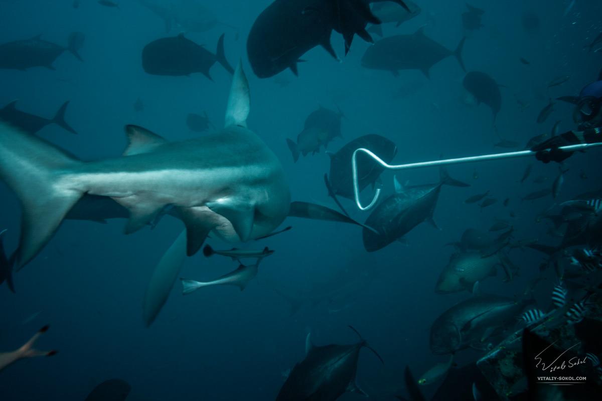 Bullshark defenders in Pacific ocean. Underwater photo
