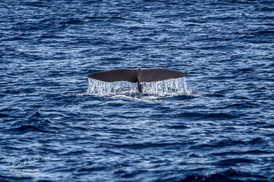 Хвост кашалота в Атлантическом океане