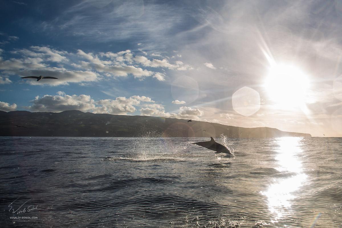 Дельфины, выпрыгивающие из воды в океане на закате