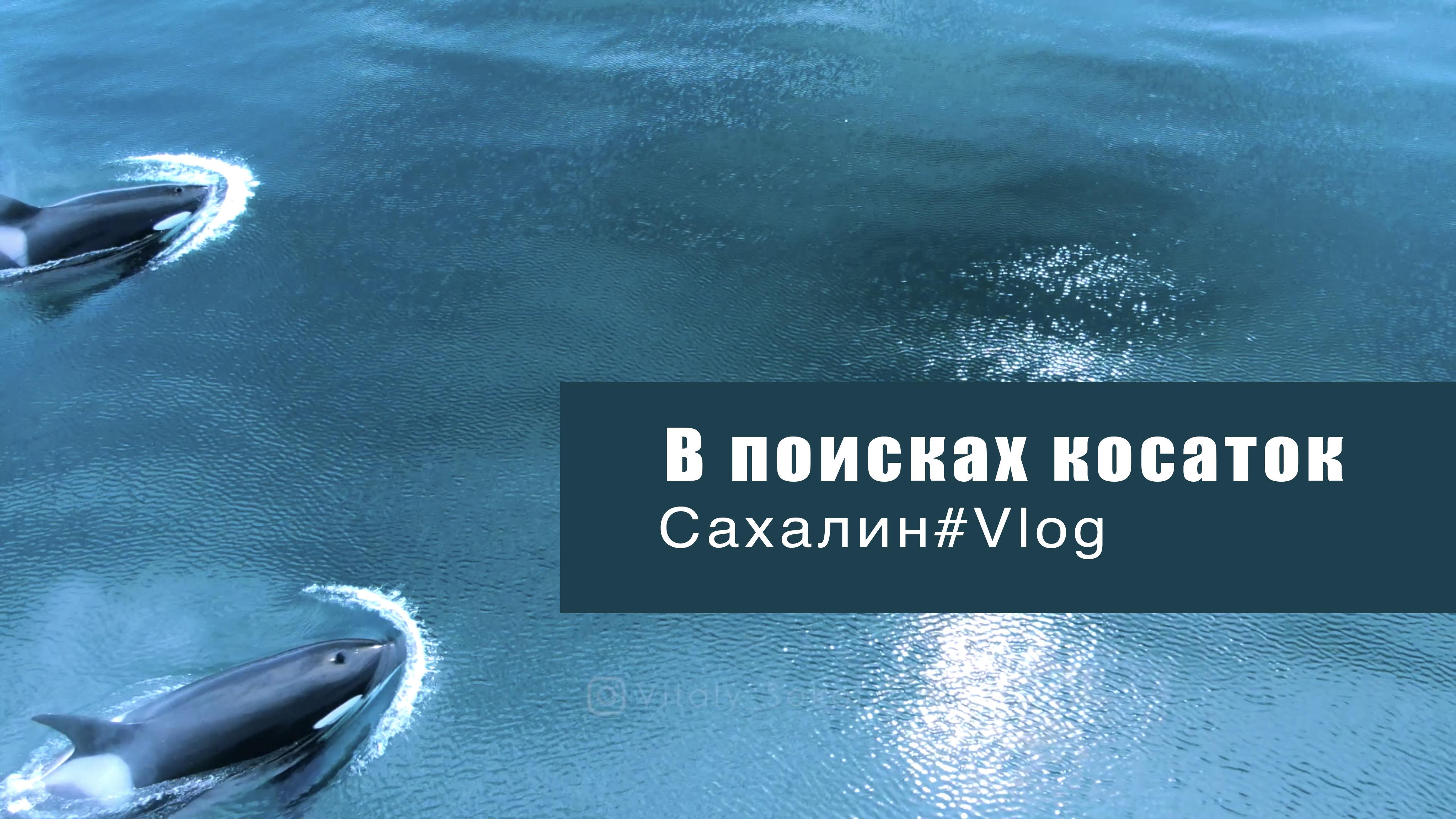 Wild Orcas in Ocean